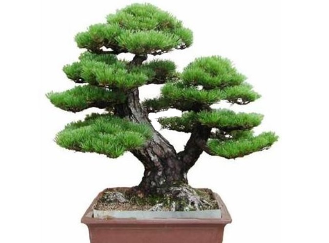 PINE TREE Bonsai japonez